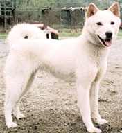 Korean Jindo Dog wallpaper