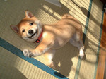 Korean Jindo Dog puppy