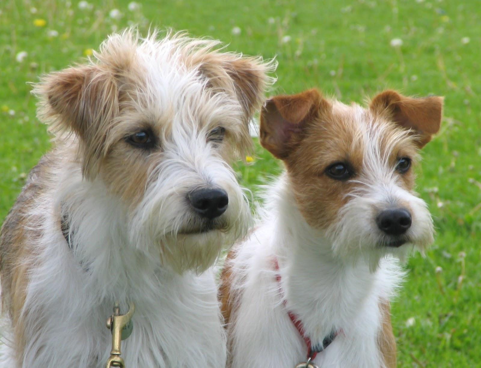 Kromfohrländer dogs faces wallpaper