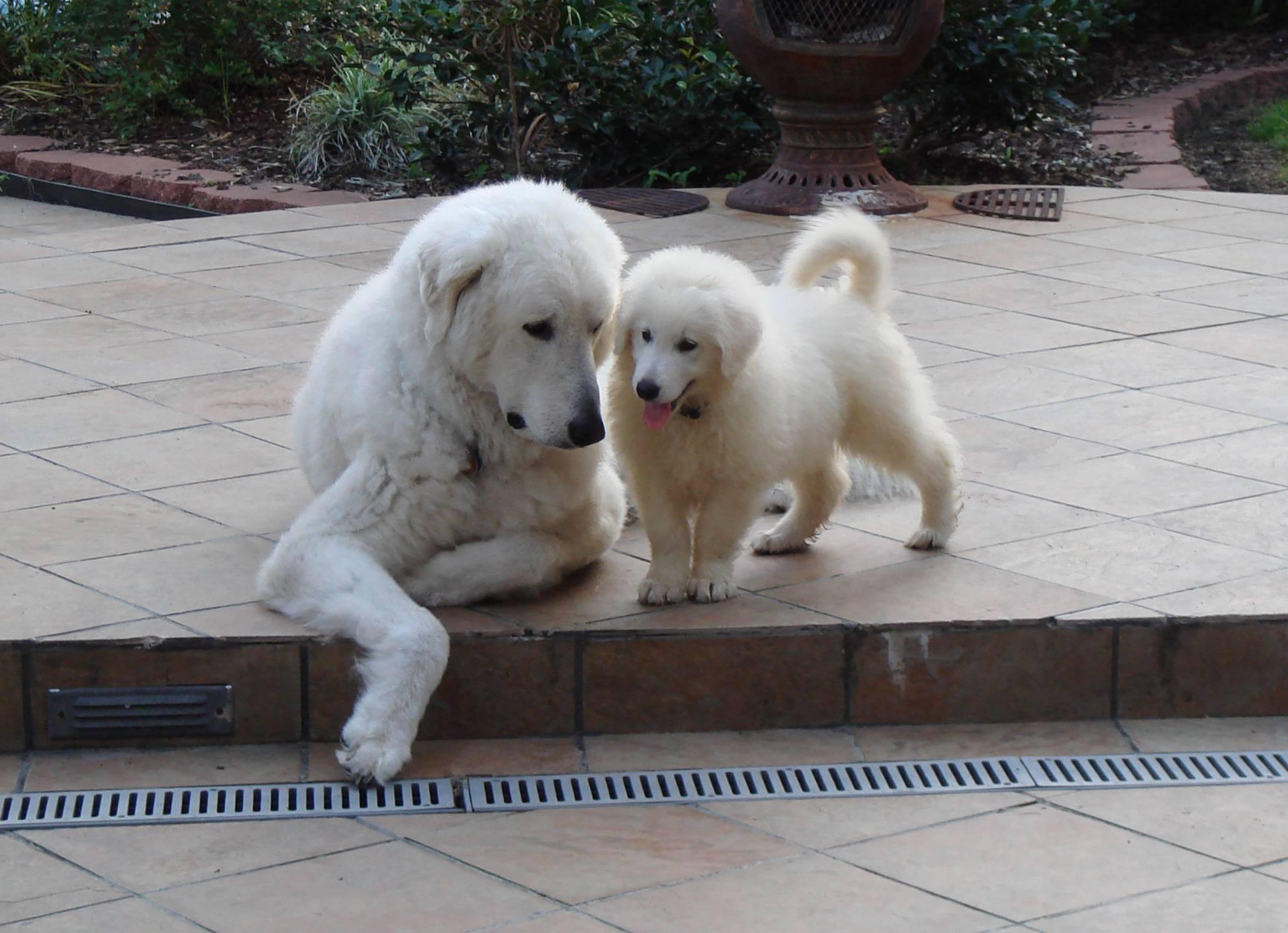 Kuvasz dog and a puppy wallpaper