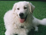 Kuvasz dog face