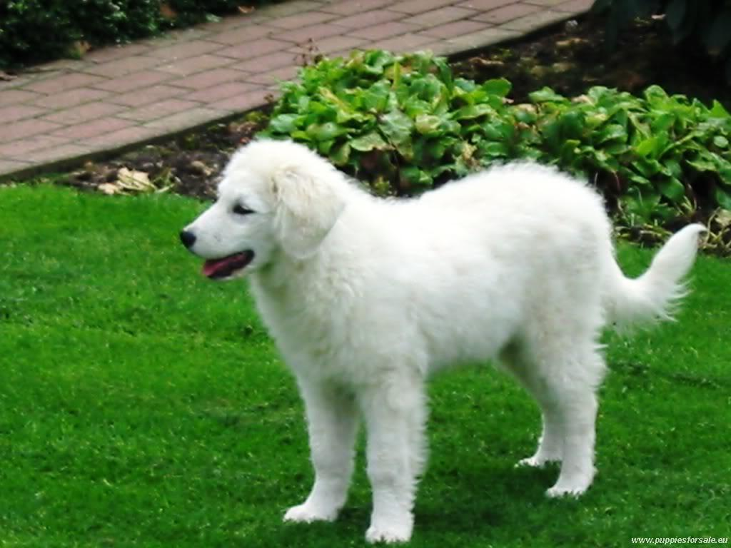 Kuvasz dog on the grass wallpaper