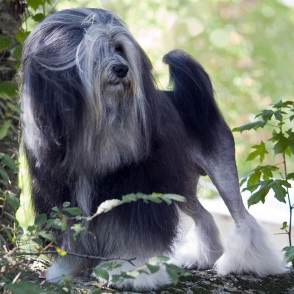Собака лион-бишон на прогулке фото