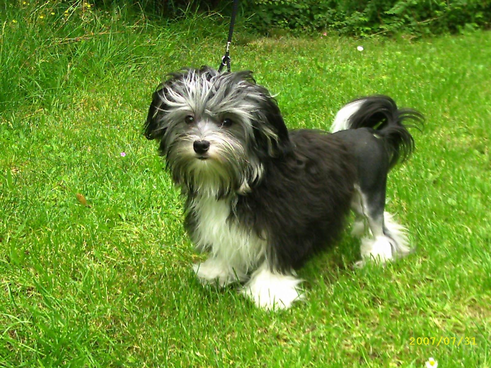 Löwchen dog on the grass wallpaper