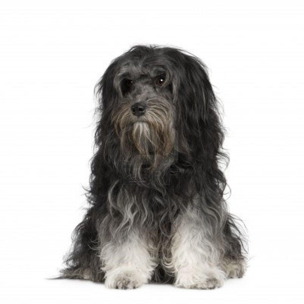 Портрет собаки лион-бишон фото