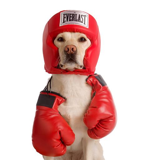 Labrador Retriever Boxing Day wallpaper