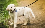 Labrador Retriever puppy for a walk