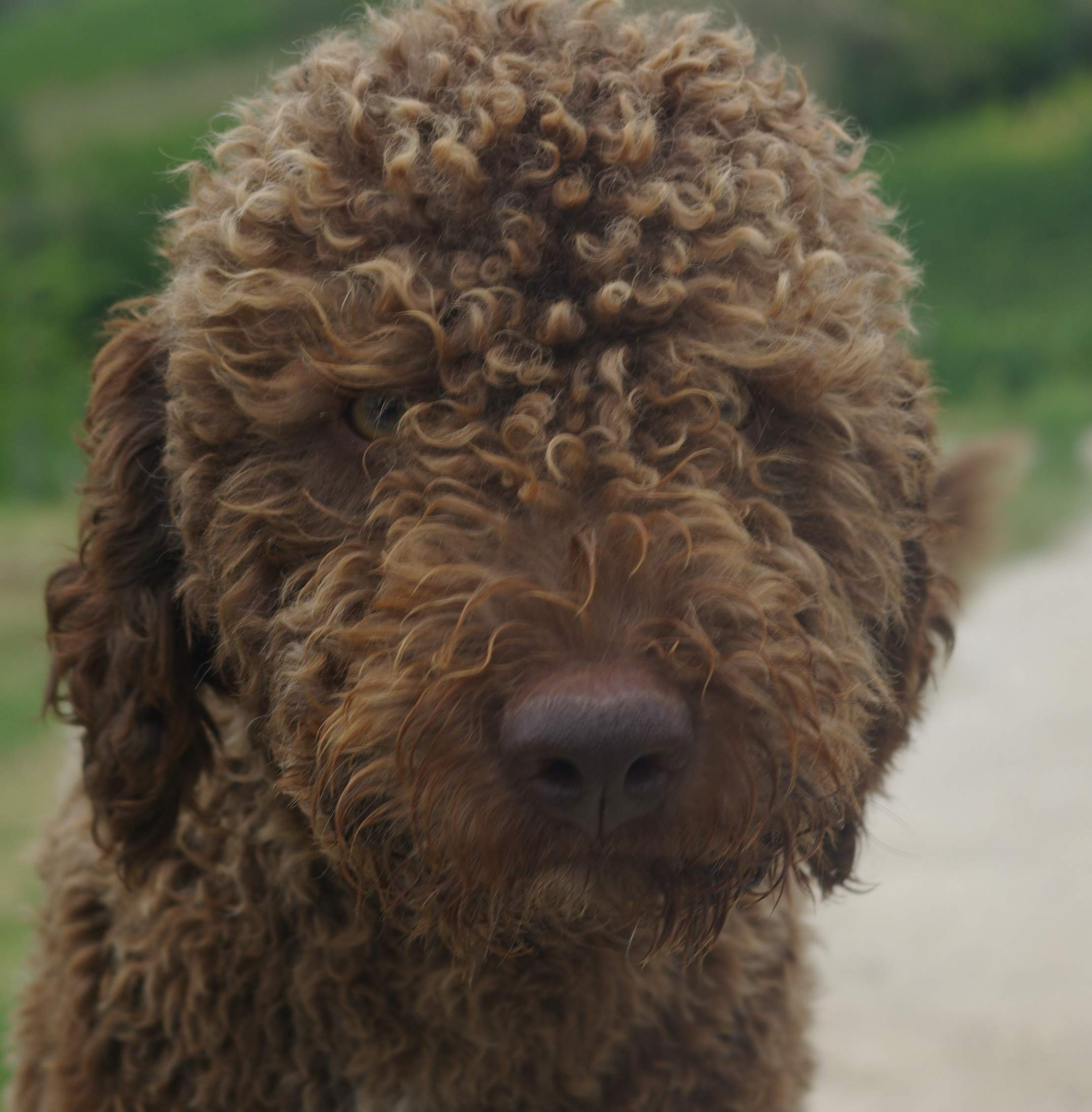 Lagotto Romagnolo Dog Face Photo And Wallpaper. Beautiful