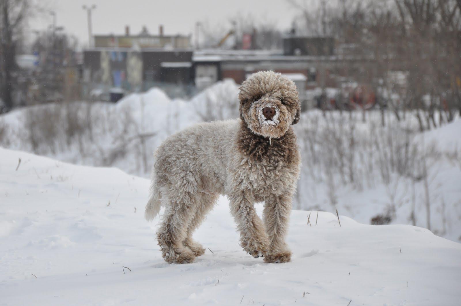 Лаготто-романьоло в снегу фото