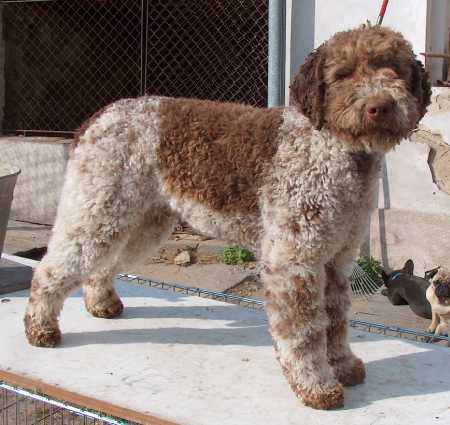 Lagotto Romagnolo wallpaper
