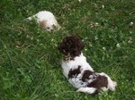 Lagotto Romagnolo puppies in the grass