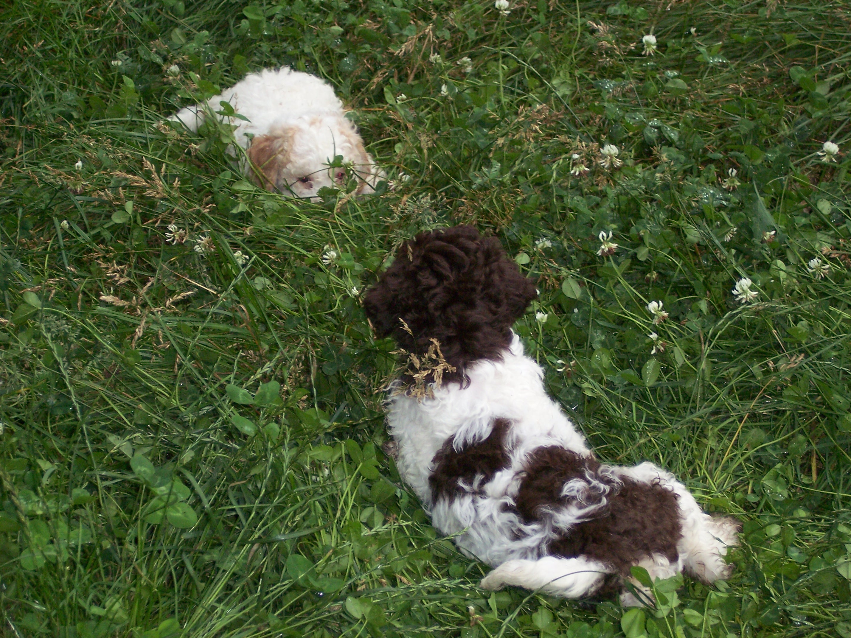 Lagotto Romagnolo puppies in the grass wallpaper