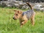 Lakeland Terrier dog for a walk