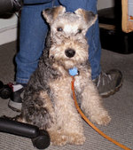 Lakeland Terrier dog near the owner