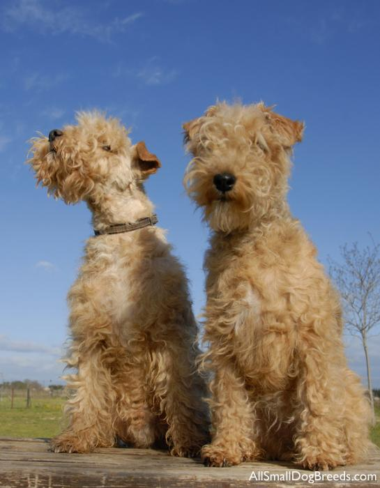 Lakeland Terrier dogs wallpaper