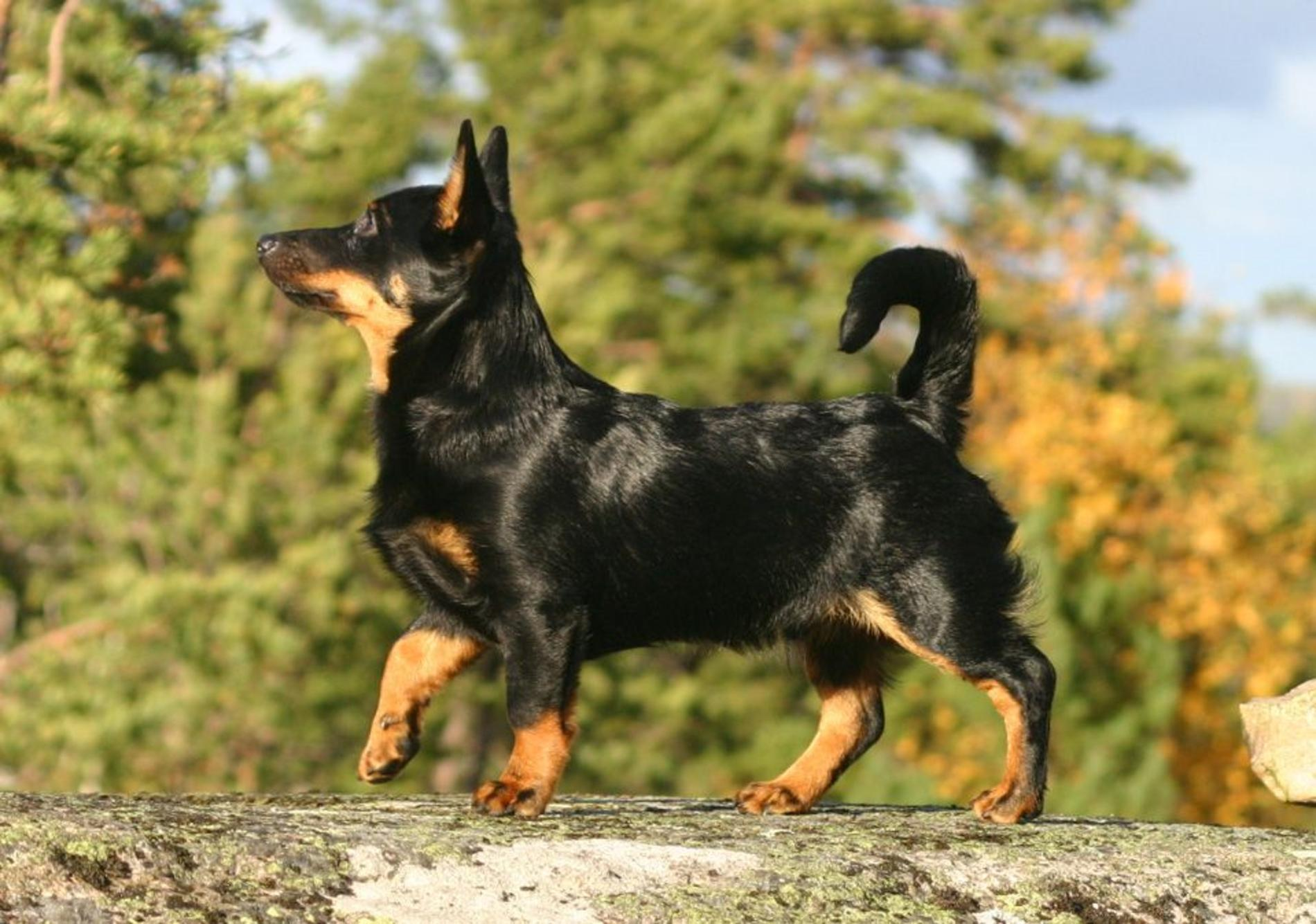 Lancashire Heeler Dog For A Walk Photo And Wallpaper