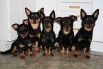 Собаки ланкаширский хилер