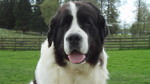 Landseer dog face