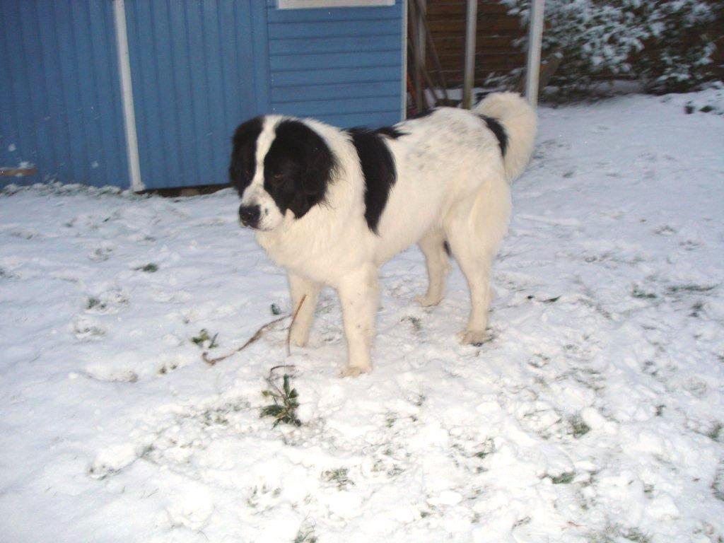 Landseer dog in the snow wallpaper