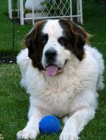 Landseer dog with a ball