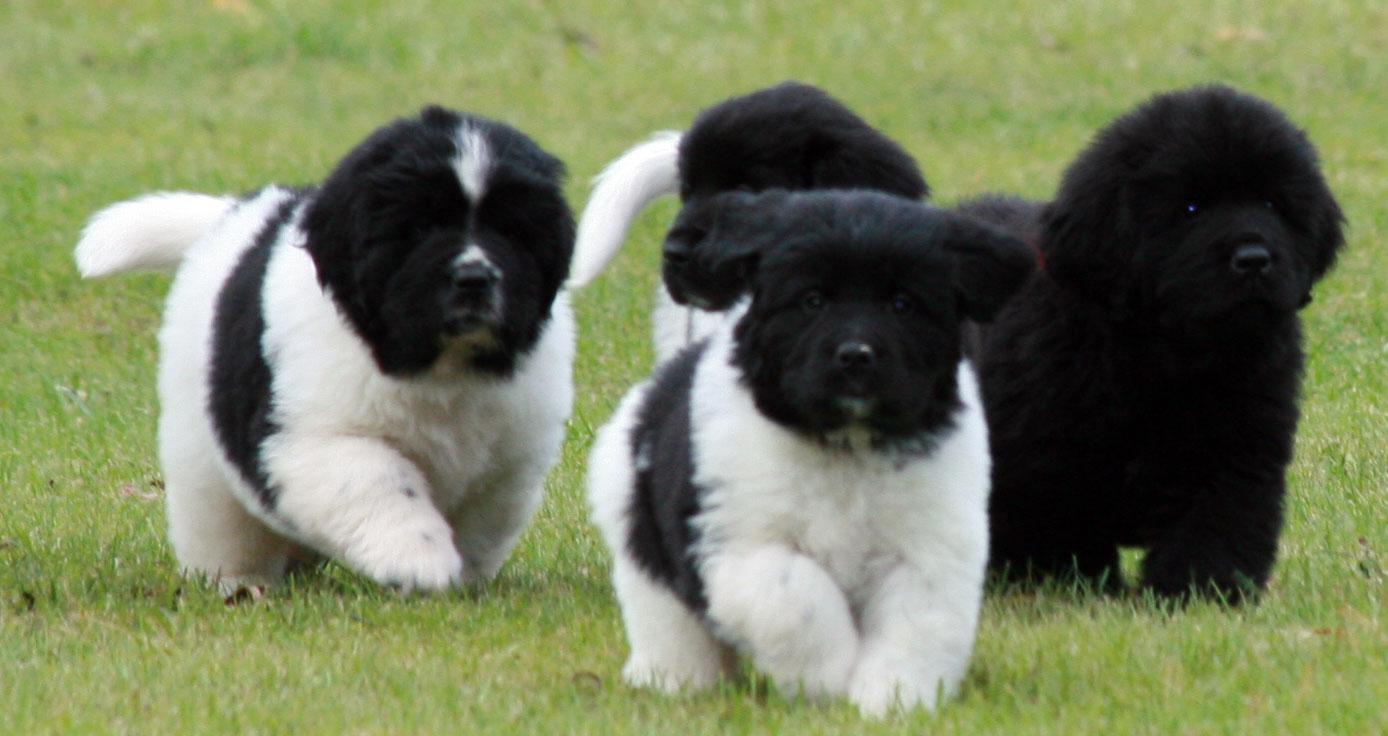 Landseer puppies wallpaper