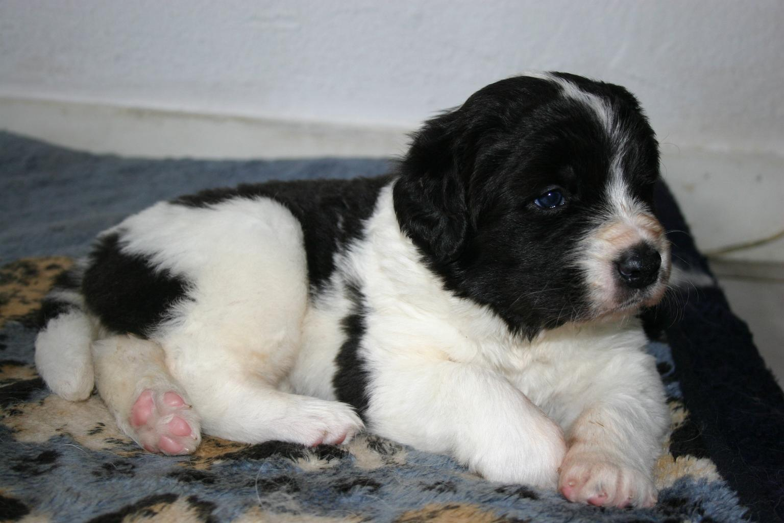 Landseer puppy wallpaper