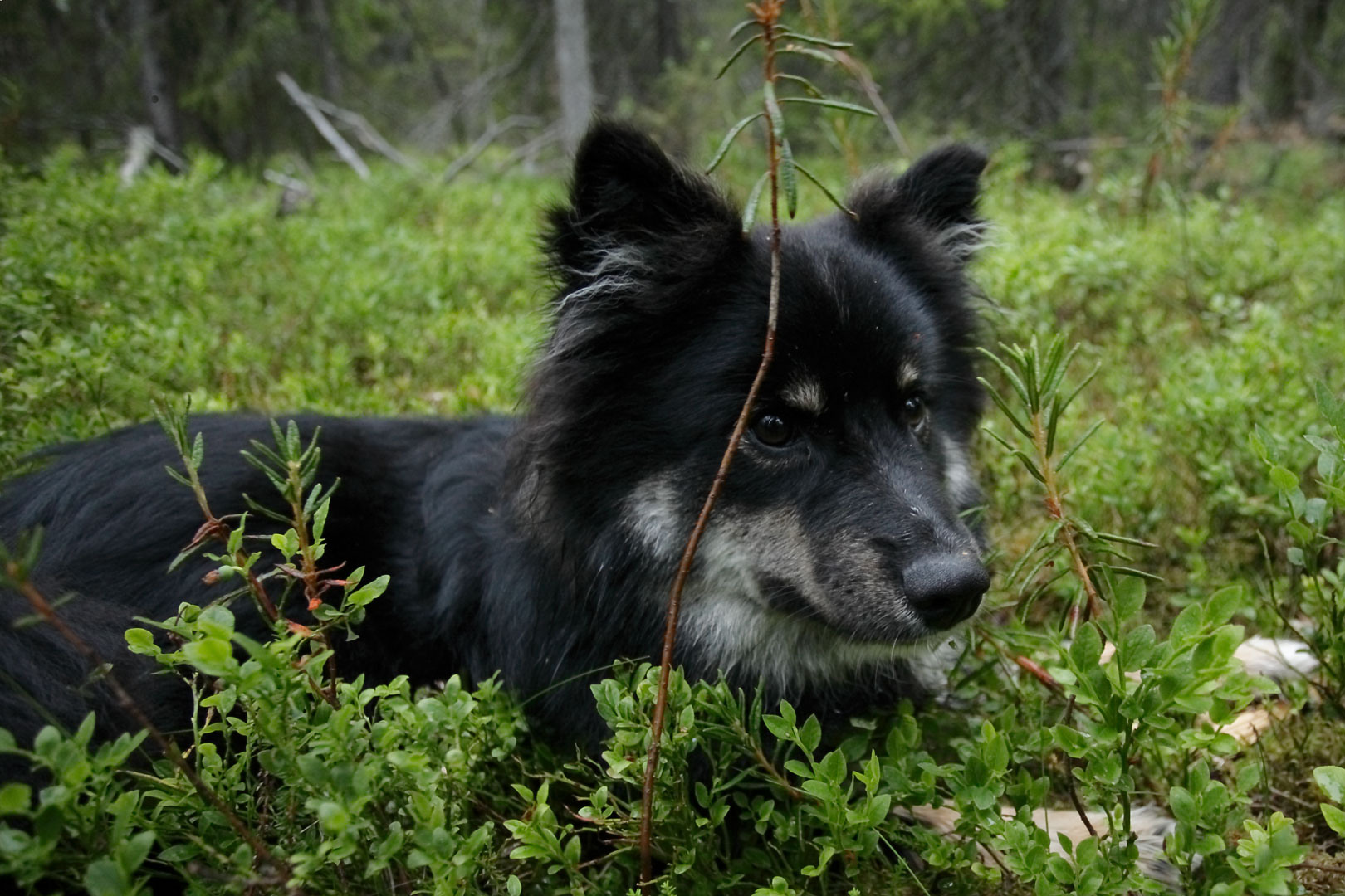 Lapponian Herder dog in the grass wallpaper