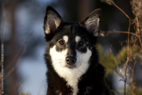 Lapponian Herder dog portrait wallpaper
