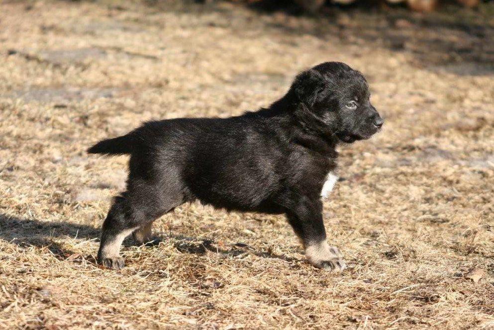 Щенок собаки лапинпорокойра фото