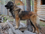 Leonberger dog near the house