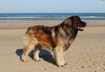 Leonberger dog near the ocean