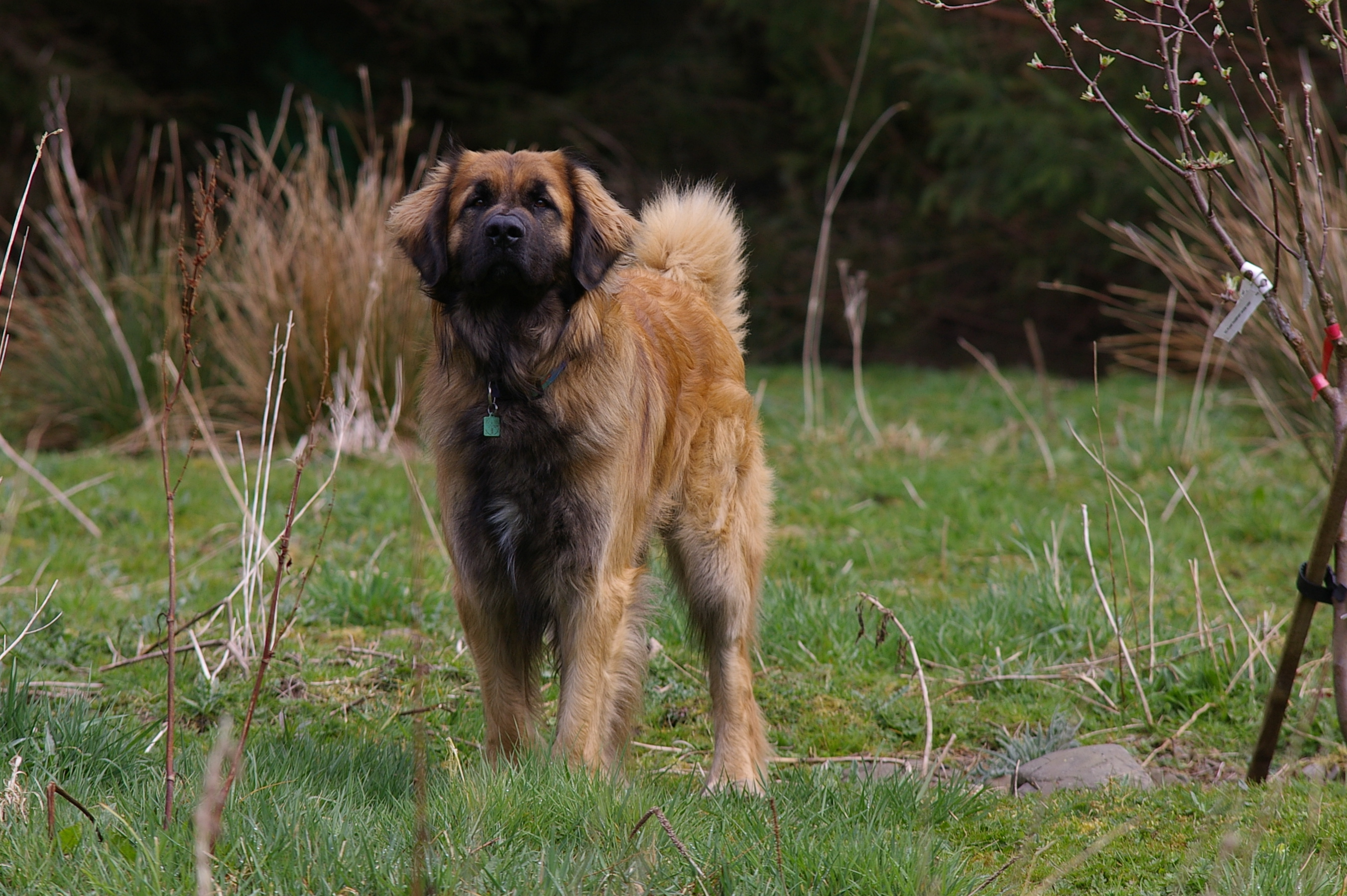 Leonberger dog on the grass wallpaper