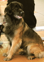 Leonberger dog with the owner
