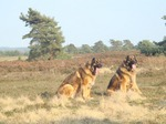 Leonberger dogs for a walk
