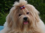 Lhasa Apso dog face