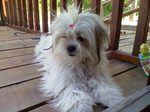 Lhasa Apso dog girl