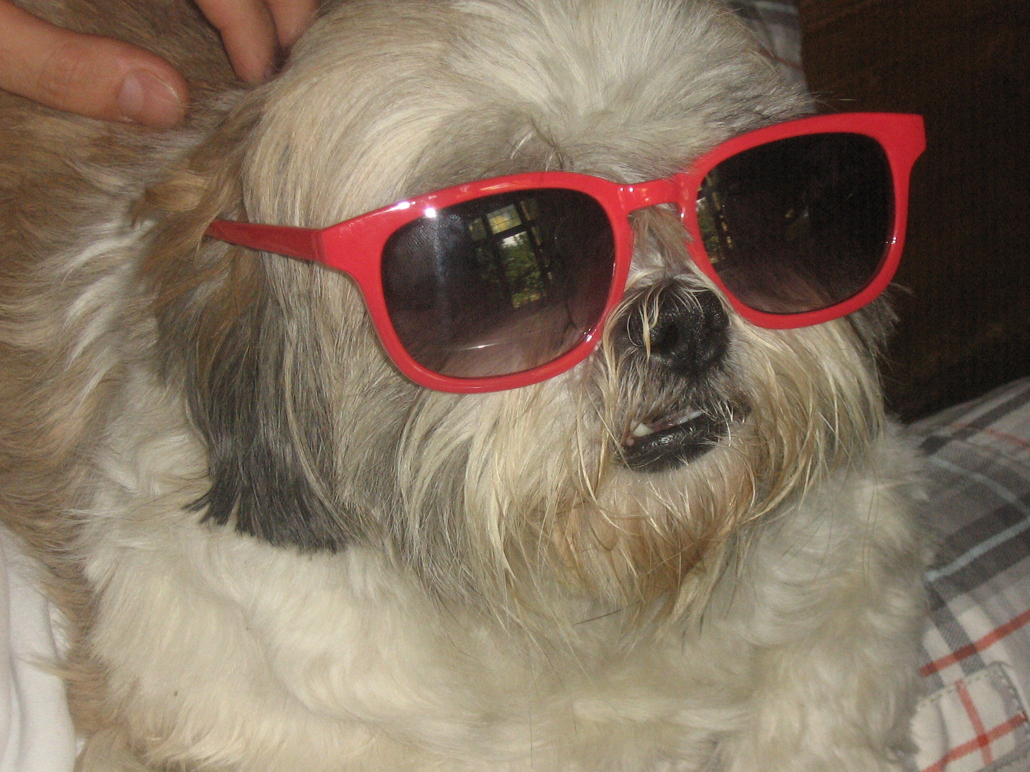 Lhasa Apso dog in glasses photo and wallpaper. Beautiful Lhasa Apso ...