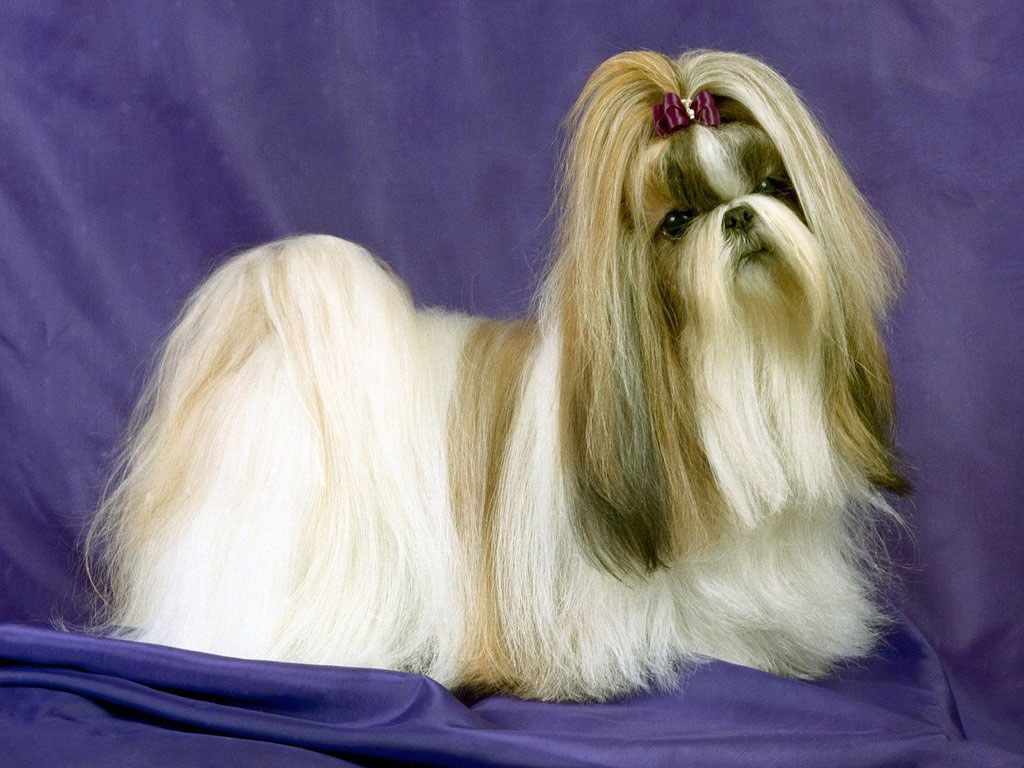 Lhasa Apso dog portrait wallpaper