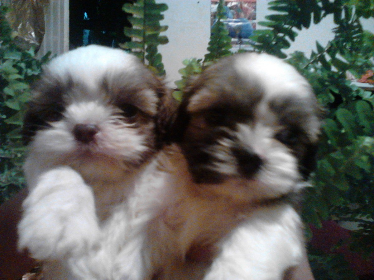Lhasa Apso puppies photo and wallpaper. Beautiful Lhasa Apso puppies ...