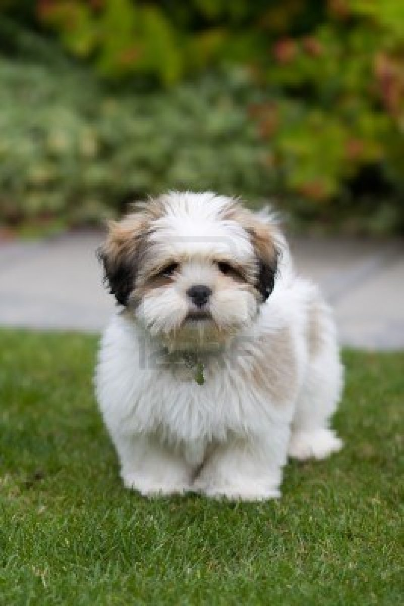 Add photos Lhasa Apso in your blog: