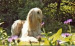 Light Afghan Hound at rest
