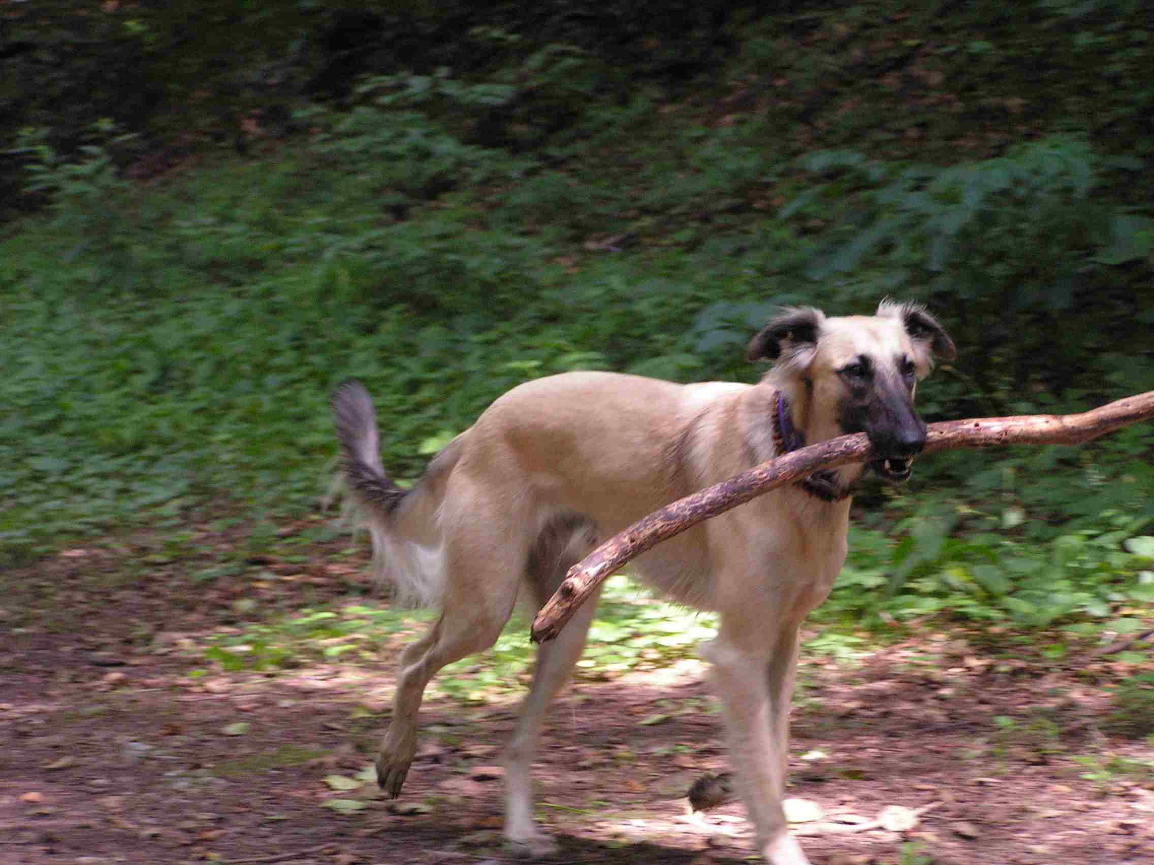 Longhaired Whippet with a stick wallpaper