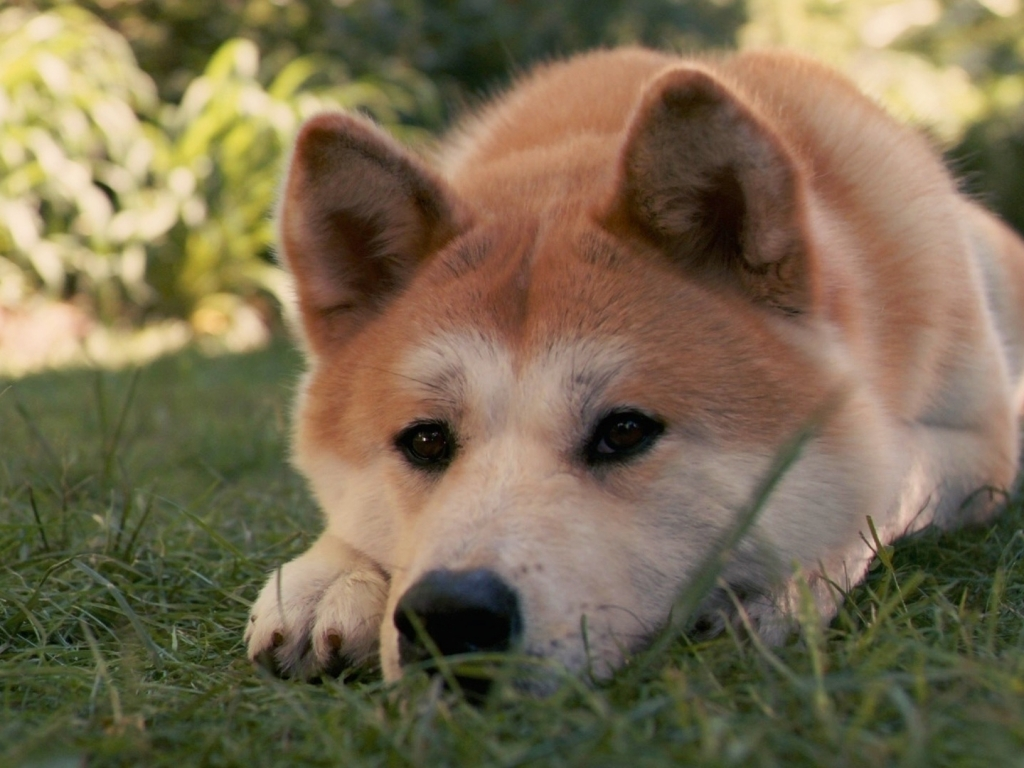 Akita Inu dog photo and wallpaper. Beautiful Lovely Akita Inu dog
