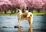 Lovely Akita Inu against the beautiful cherry blossoms