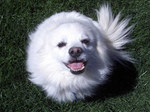 Lovely American Eskimo Dog face