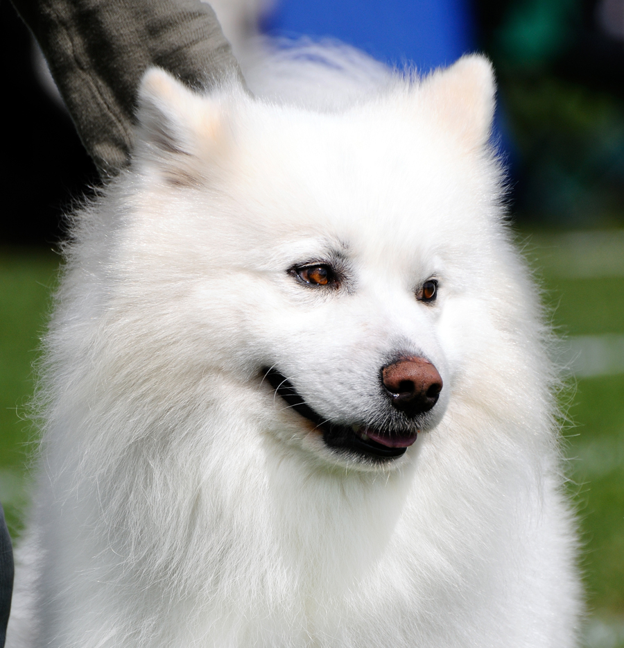 Lovely American Eskimo Dog wallpaper