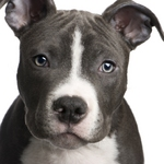 Lovely American Pitbull Terrier