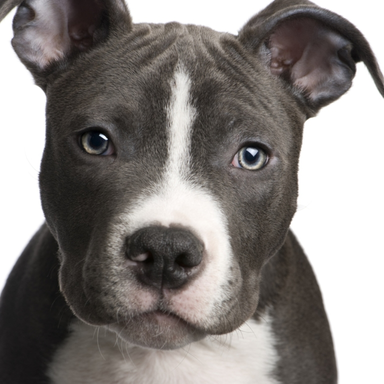 Lovely American Pitbull Terrier wallpaper