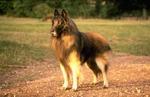Lovely Belgian Shepherd (Tervuren)