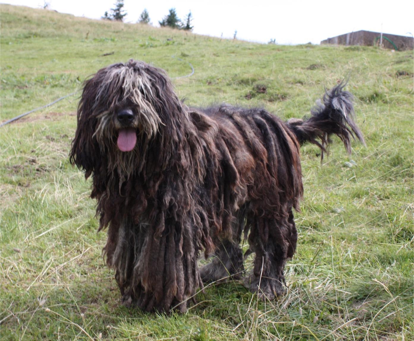 Lovely Bergamasco Shepherd dog wallpaper